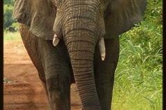 Elephant_1.jpg-2015-10-4-18-14-34