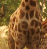 Girafe.png-2015-10-1-0-41-50