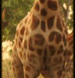 Girafe.png-2015-10-1-0-43-24