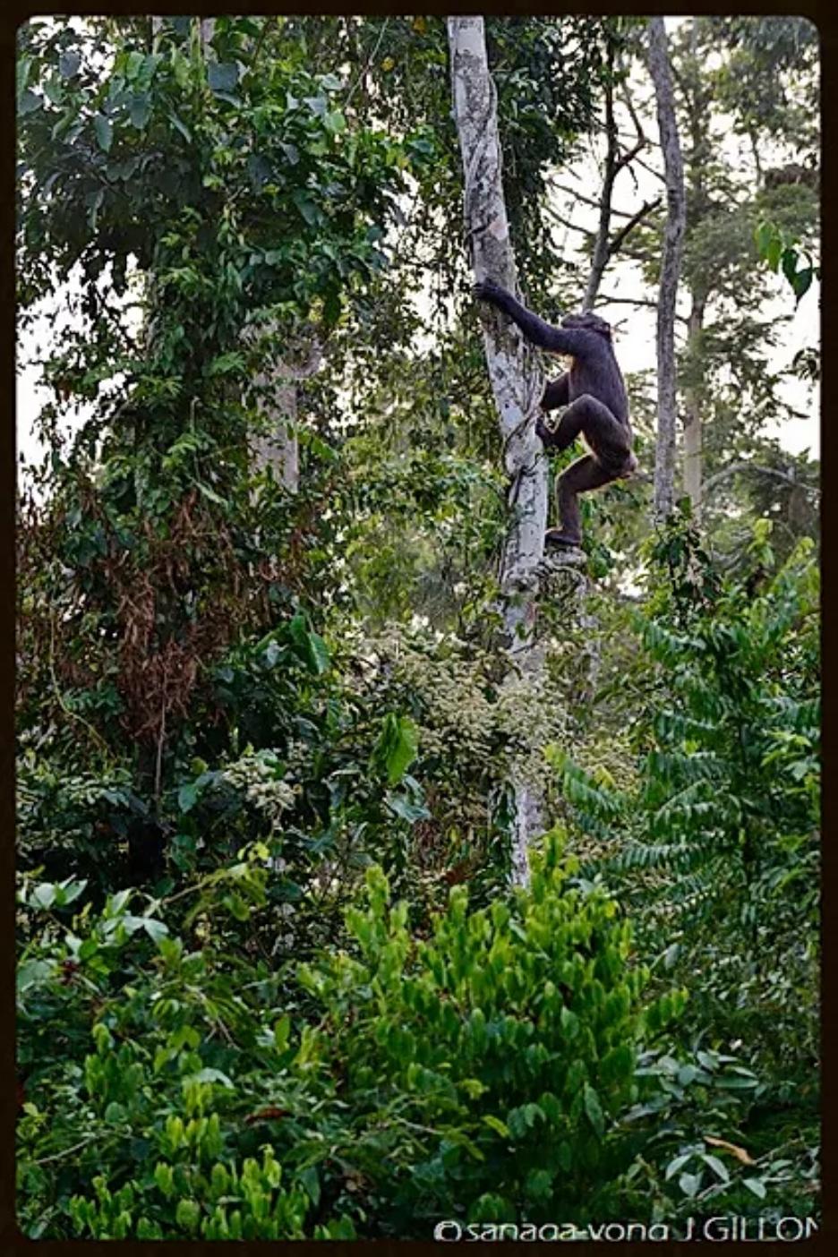 Chimp-nigeria-cameroon - Sekakoh