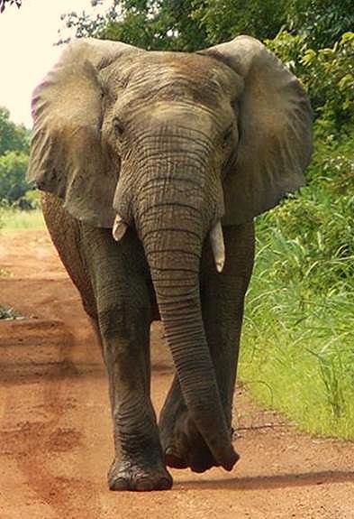 Savannah Elephant - Sekakoh