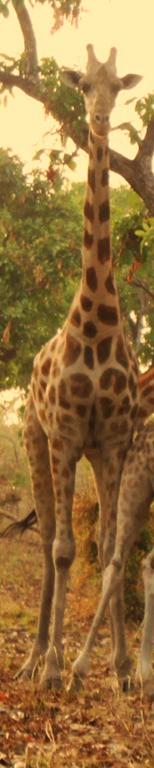 Girafe.png 2015-10-1-0-41-50