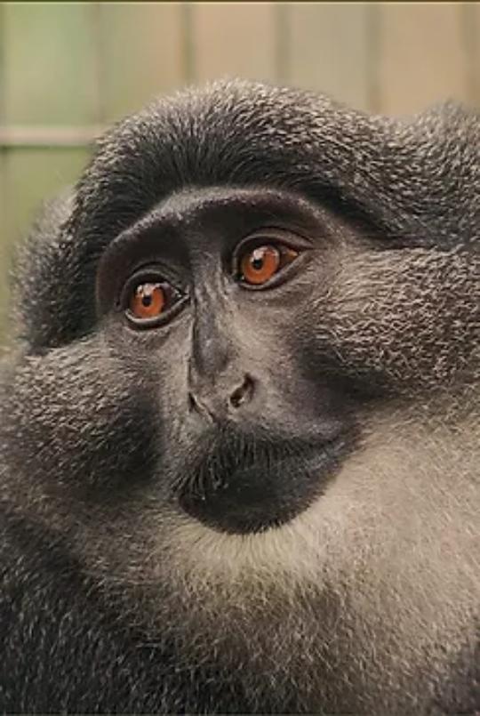 preuss monkey Sekakoh