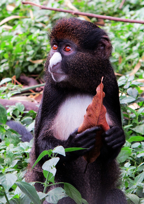 Putty-nosed guenon - Sekakoh