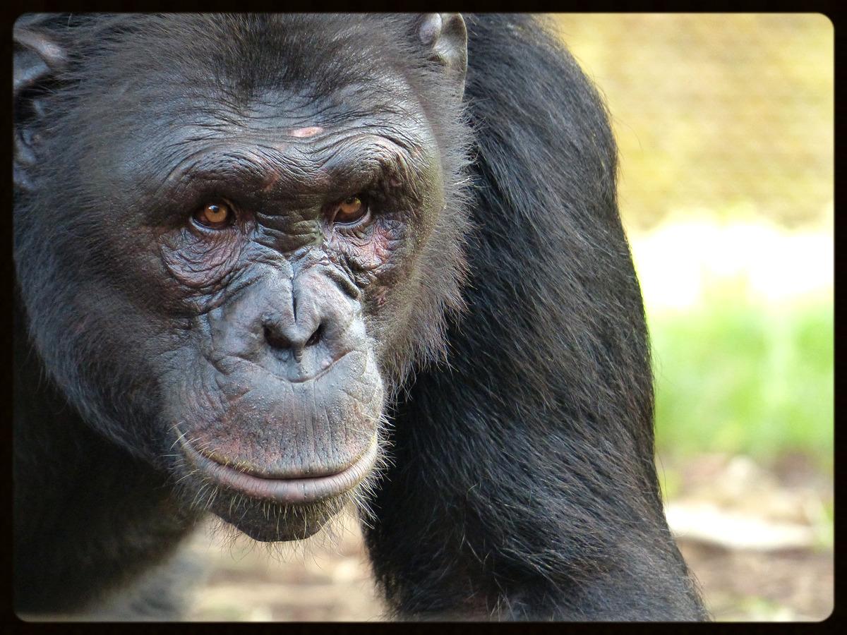 Chimpanzee - Sekakoh