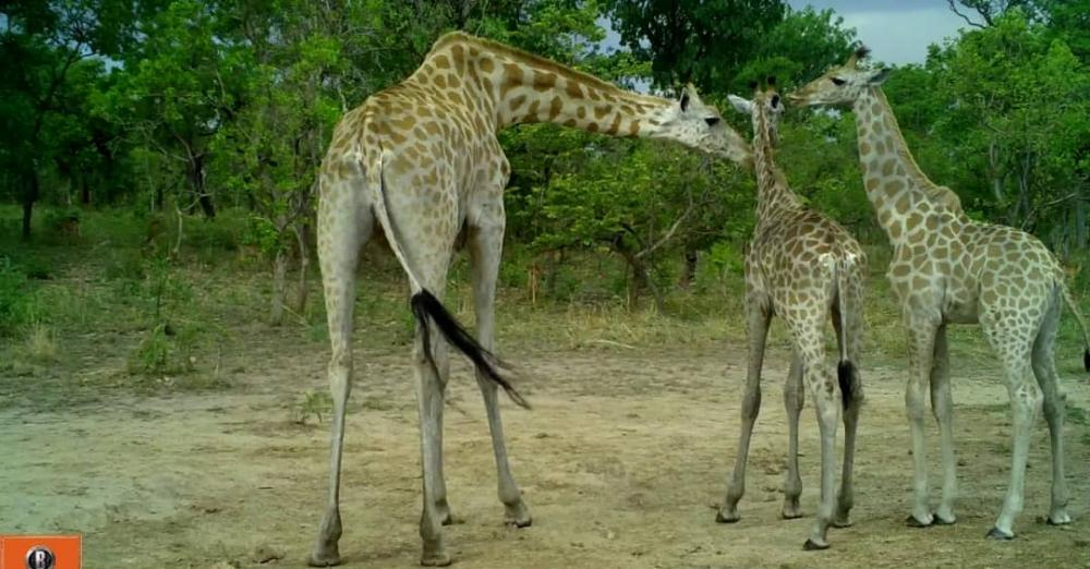 Kordofan Giraffe  (Giraffa camerlopardalis  antiquorum)